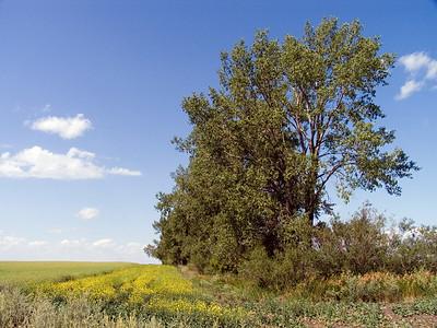 CRW_1467 Burkitt trees