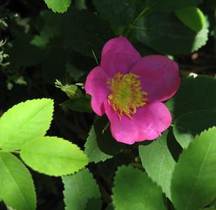 Smooth Rose (Rosa blanda)