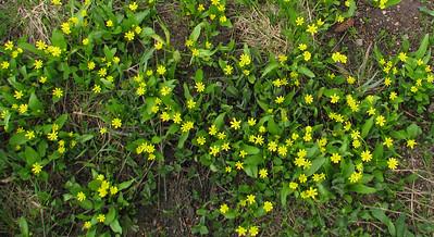 Ranunculus glabberinus (Buttercup)