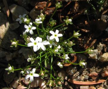 Sandwort (Arenaria lanuginosa)