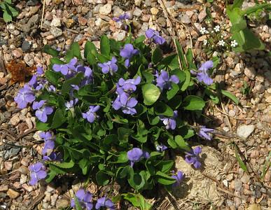 Violet (Viola adunca)