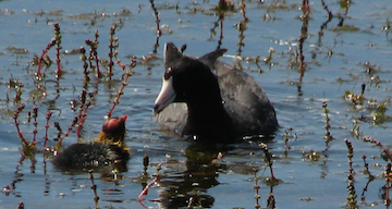Coot mother and baby