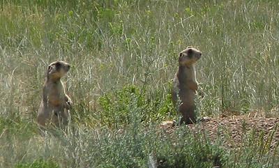 Prairie dogs In Arapahoe NWR.