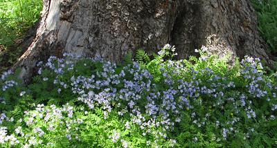 Polemonium pulcherrimum ssp. delicatum (Jacob's Ladder)