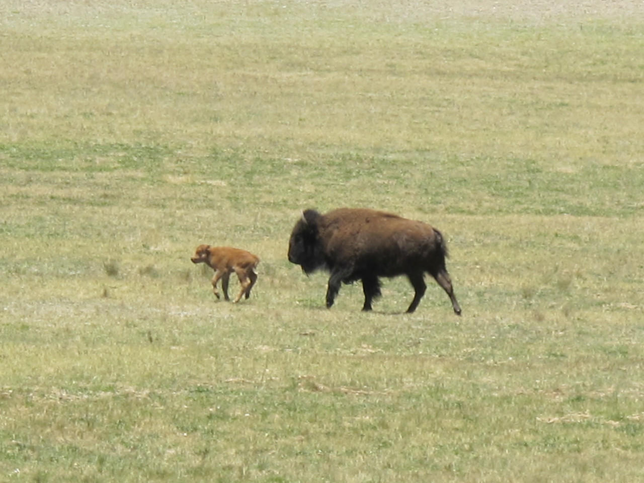 Mamma and baby bison, just before the park entrance.