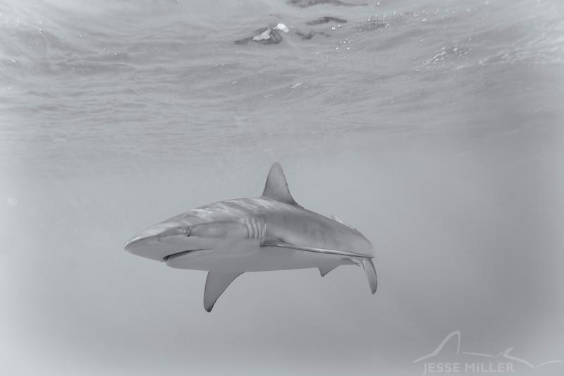 Galapagos Shark - Shark Alley off North Shore, Oahu