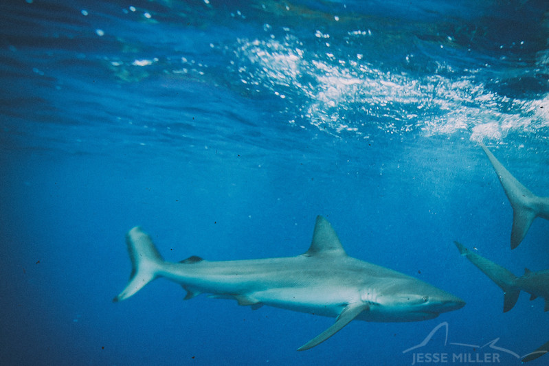 Galapagos Shark - Shark Alley off North Shore, Oahu