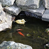 We loved this! by a footpath, a resident has a small pond with goldfish and a plastic duck to keep them company!