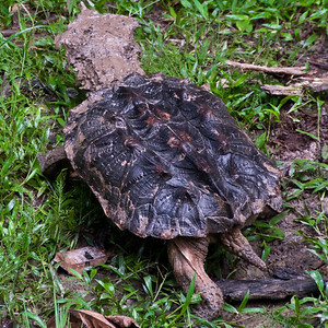 Not all wildlife is beautiful. This is a mata mata turtle