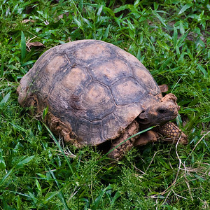 Brown Tortoise