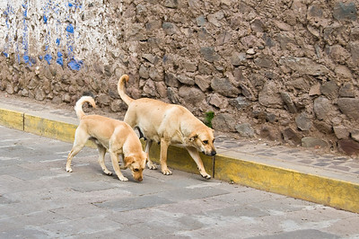 On arrival at out hotel near Puno we went for a walk and were struck by the number of dogs roaming the streets.