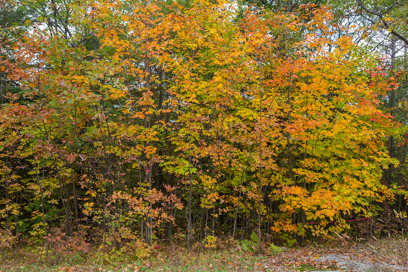 Coloured leaves at Eagle's Nest.