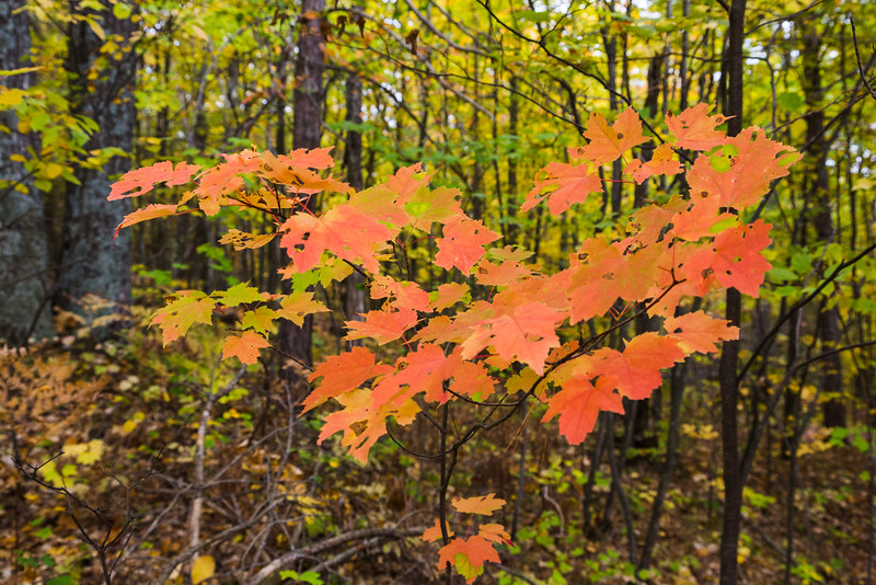 Reddish leaves in the bush on the Eagle's Nest.