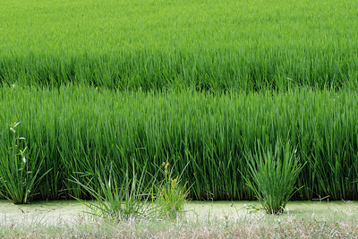 Shearerville - Ricefield Details