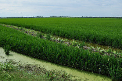 Shearerville - Green Line Ricefield