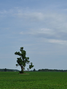 Marion - Single Tree in Soyabean Field