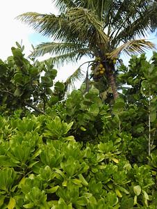 Naples - Coconut Tree