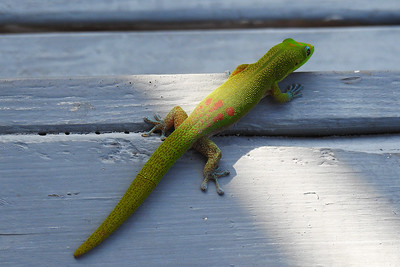Kailua - Gold Dust Day Gecko