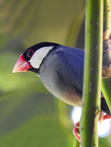 Kailua - Close Up Java Sparrow