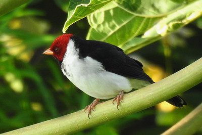 Kailua - Yellow-Billed Cardinal