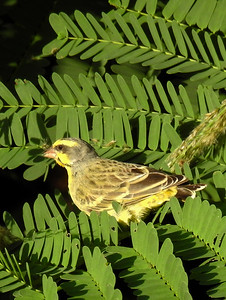 Kailua - Yellow Fronted Canary