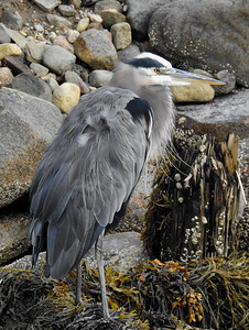 Kennebunkport - Great Blue Heron
