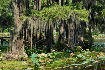 Uncertain - Hanging Moss