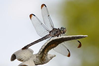 Uncertain - Great Blue Skimmer ♀