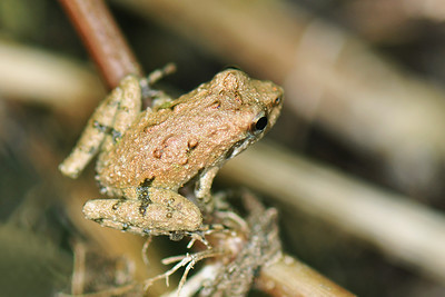 Uncertain - Jumpy Little Frog