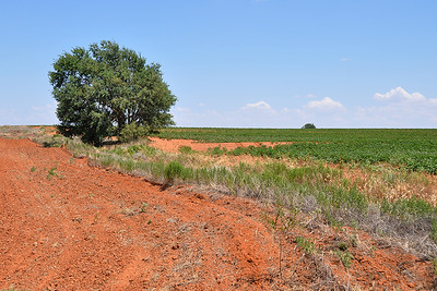 Roby - Tree near Cotton Field