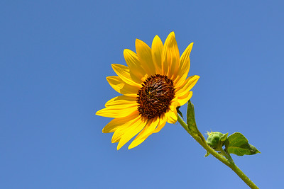Rotan - Sunflower