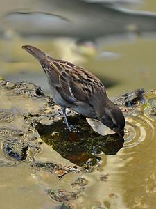 San Antonio - Thursty bird