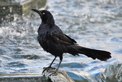 San Antonio - Bathing Blackbird