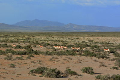 Carbon - Herd of Pronghorn