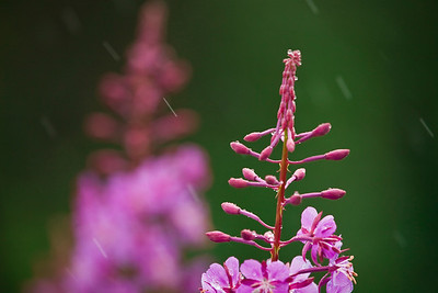 Fireweed blooming as it snows.