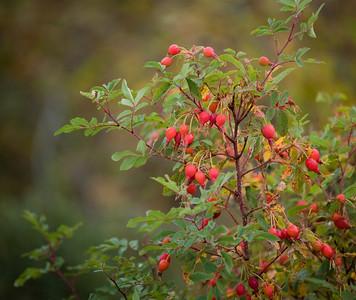 Wild roses in Alberta.