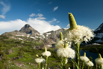Beargrass in Glacier National Park with Mt. Reynolds in the background.
