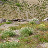 Wildflowers of Mt. St. Helens