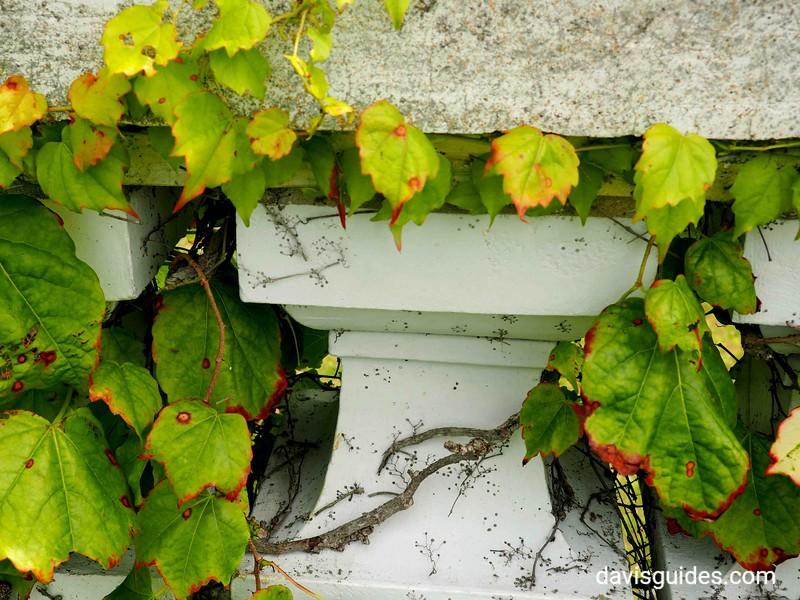 Ivy vines along Cliff Walk, Newport RI