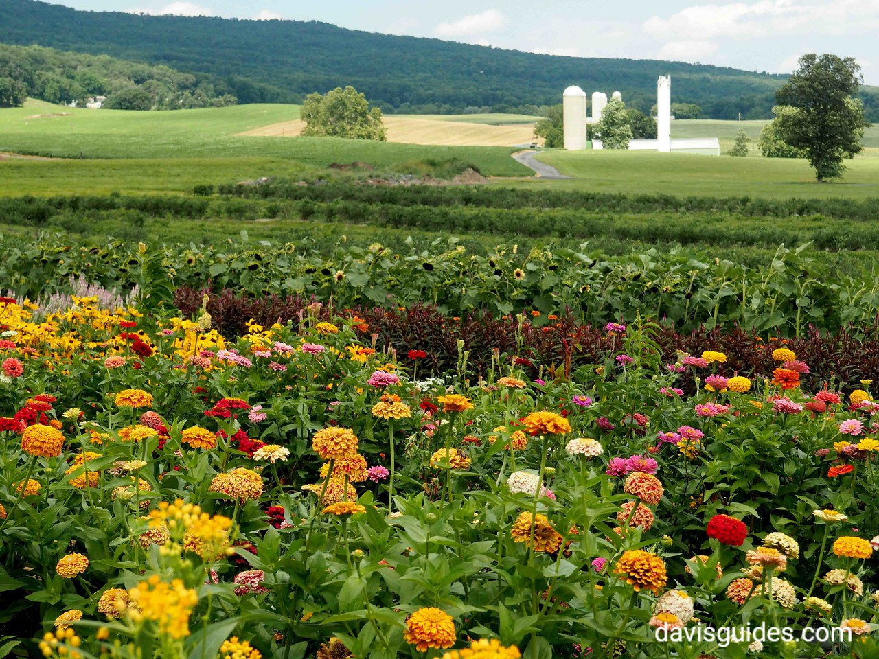 Flowers and farm fields near Catoctin MD