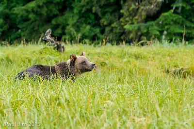 Grizzly Bear at Khutzeymateen, Ursus arctos