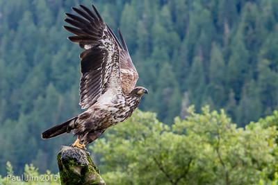 Juvenile Bald Eagle, Haliaeetus leucocephalus