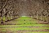 Walnut grove near Yolo, CA.