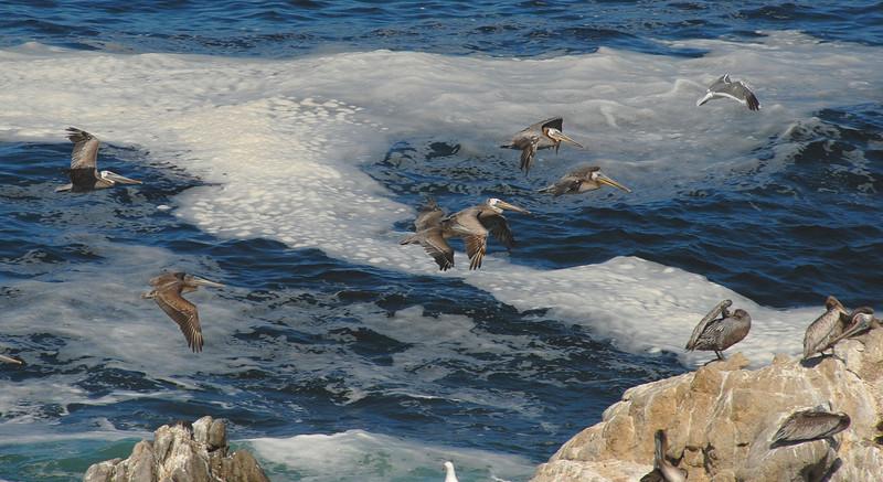 Pelican Rocks Long