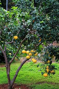 Grapefruits of Bellapais Gardens Hotel