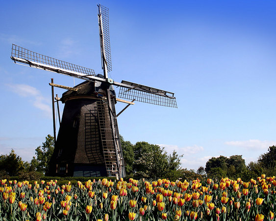 A composite of the two most defining images of Holland (the Netherlands) windmills and tulips