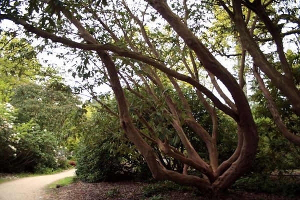 This Rhododendron has grown to tree size of more than 35 feet