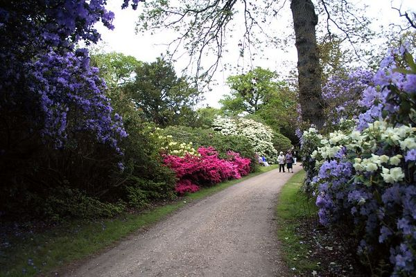 Rhododendrons and azalias along the path