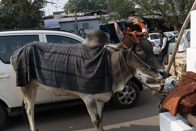 "A cow """"parked"" near the Chandni Chowk market in Old Delhi."