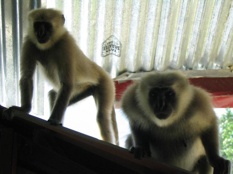 Monkeys on the roof at the German Bakery in Rishikesh.